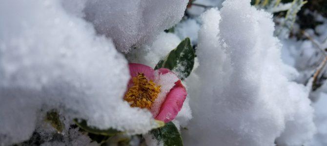雪の日の「椿」に思う