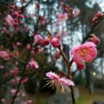 2/17花あそび「紅梅」
