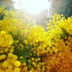 3/6花あそび「ミモザ」
